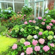 โชว์ดอกไฮเดรนเยีย  (2)