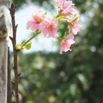 Cherry blossom chiang rai