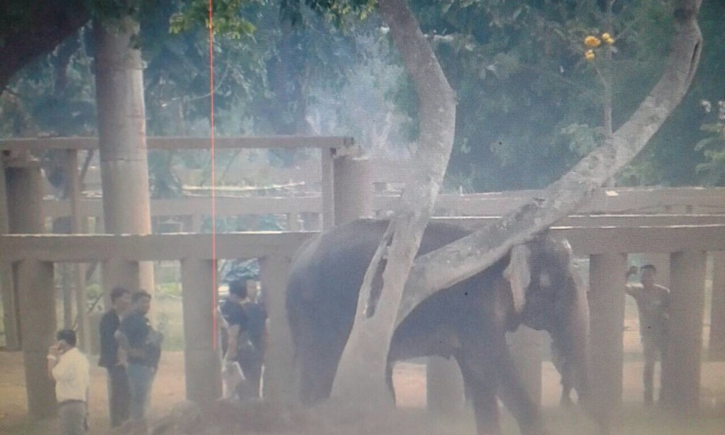 According to reports, the 10 year old female elephant known as Mee Sook, was rescued from an elephant riding camp in Krabi province.